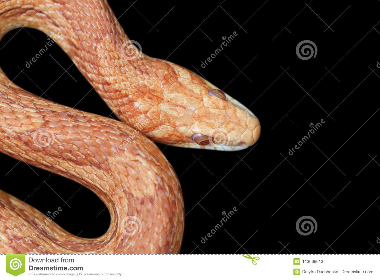 Yellow Orange Snake Curled On A Black Background In The Terrarium