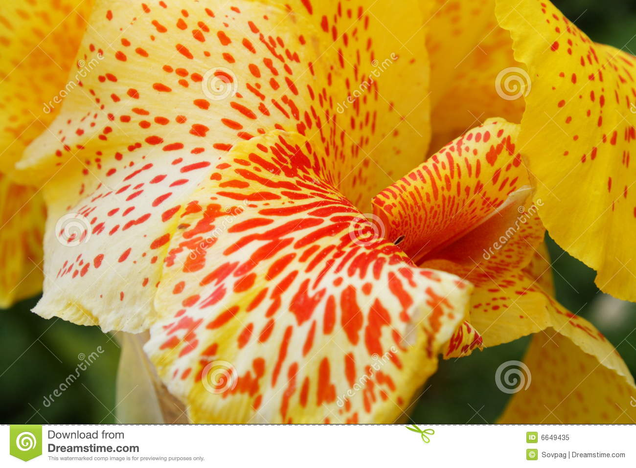 Yellow Orange Spotted Flower Stock Image Image Of Spotted Floral