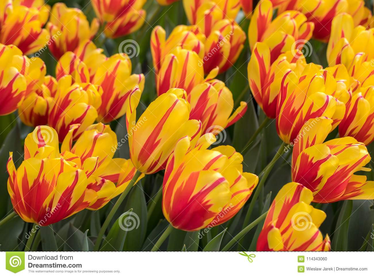 Yellow And Orange Tulips Flowers Blooming In A Garden Stock Photo