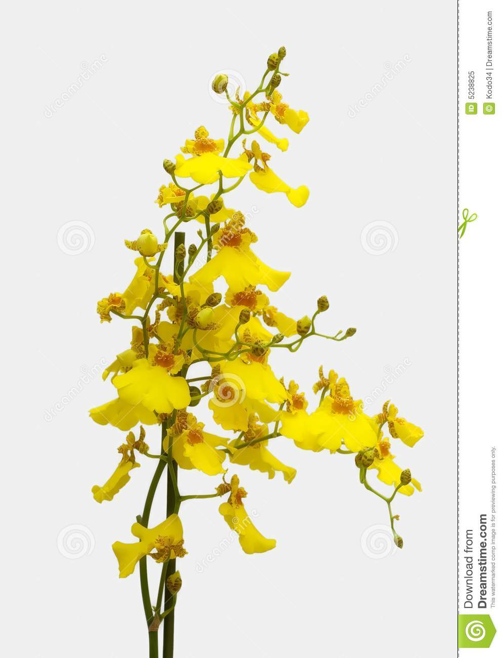 yellow orchid stock image image of small isolated