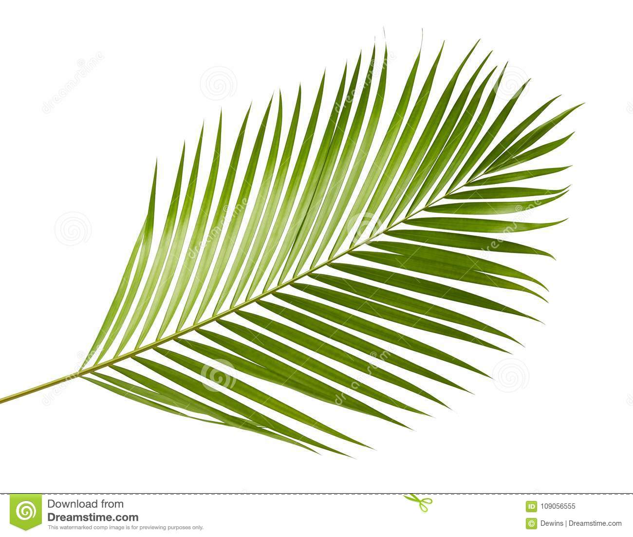 Yellow palm leaves Dypsis lutescens or Golden cane palm, Areca palm leaves, Tropical foliage isolated on white background