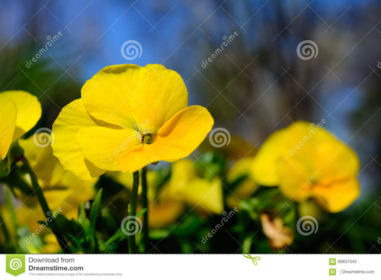 Yellow Pansy Flower With Background Of Pansies And Blue Sky Sel