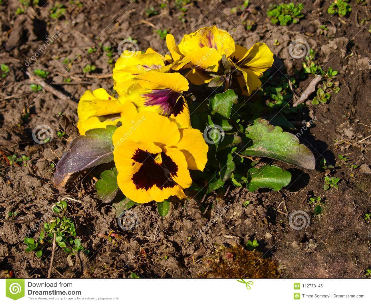 Yellow Pansy Flower After Frost Stock Image Image Of Blooming
