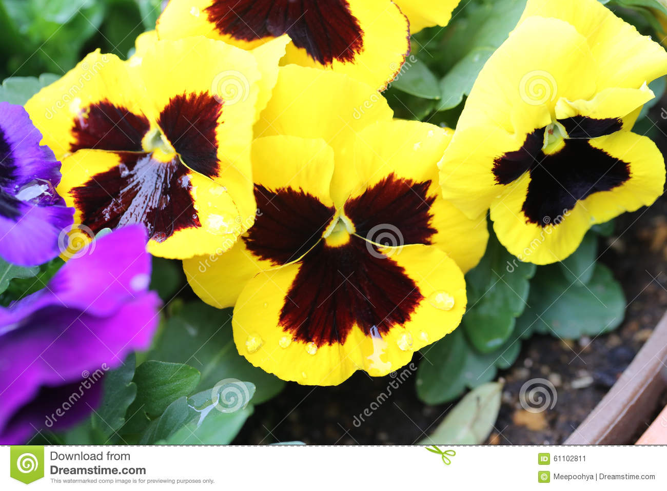 Yellow Pansy Flower Stock Image Image Of Spring Bloom 61102811