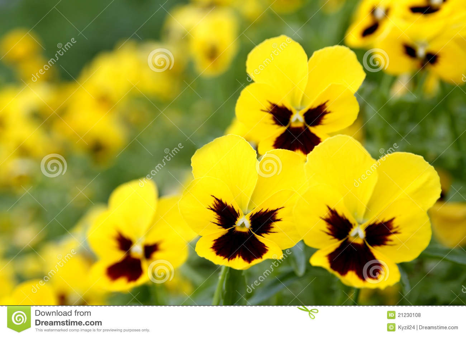 Yellow Pansy Flowers Stock Photo Image Of Beautiful 21230108