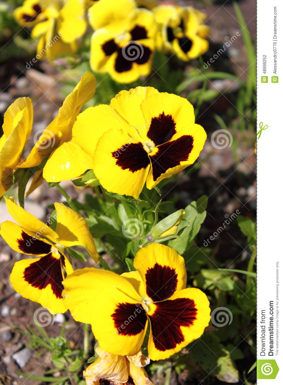 Yellow Pansy Flowers Stock Photo Image Of Floral Pansy 48999252
