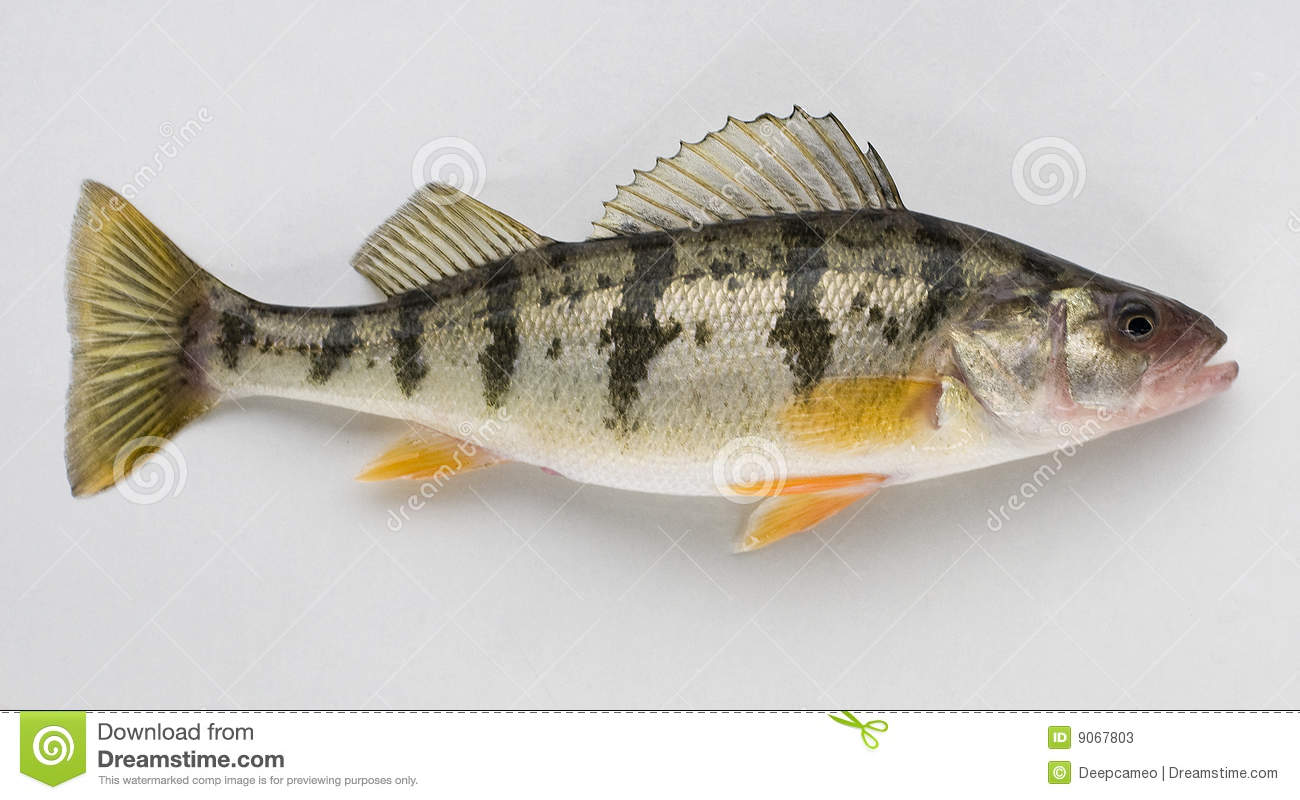 Yellow perch stock photos image 9067803 for Sun perch fish