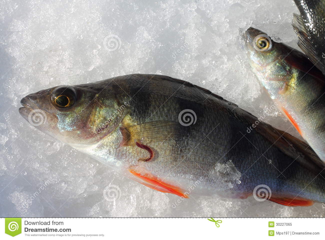Fish Leech On A Perch Stock Image Image Of Parasite