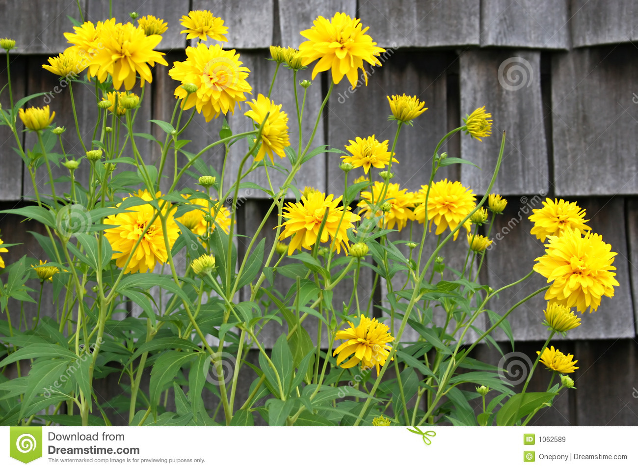 Yellow perennial stock image image of fluffy contrast 1062589 yellow perennial mightylinksfo