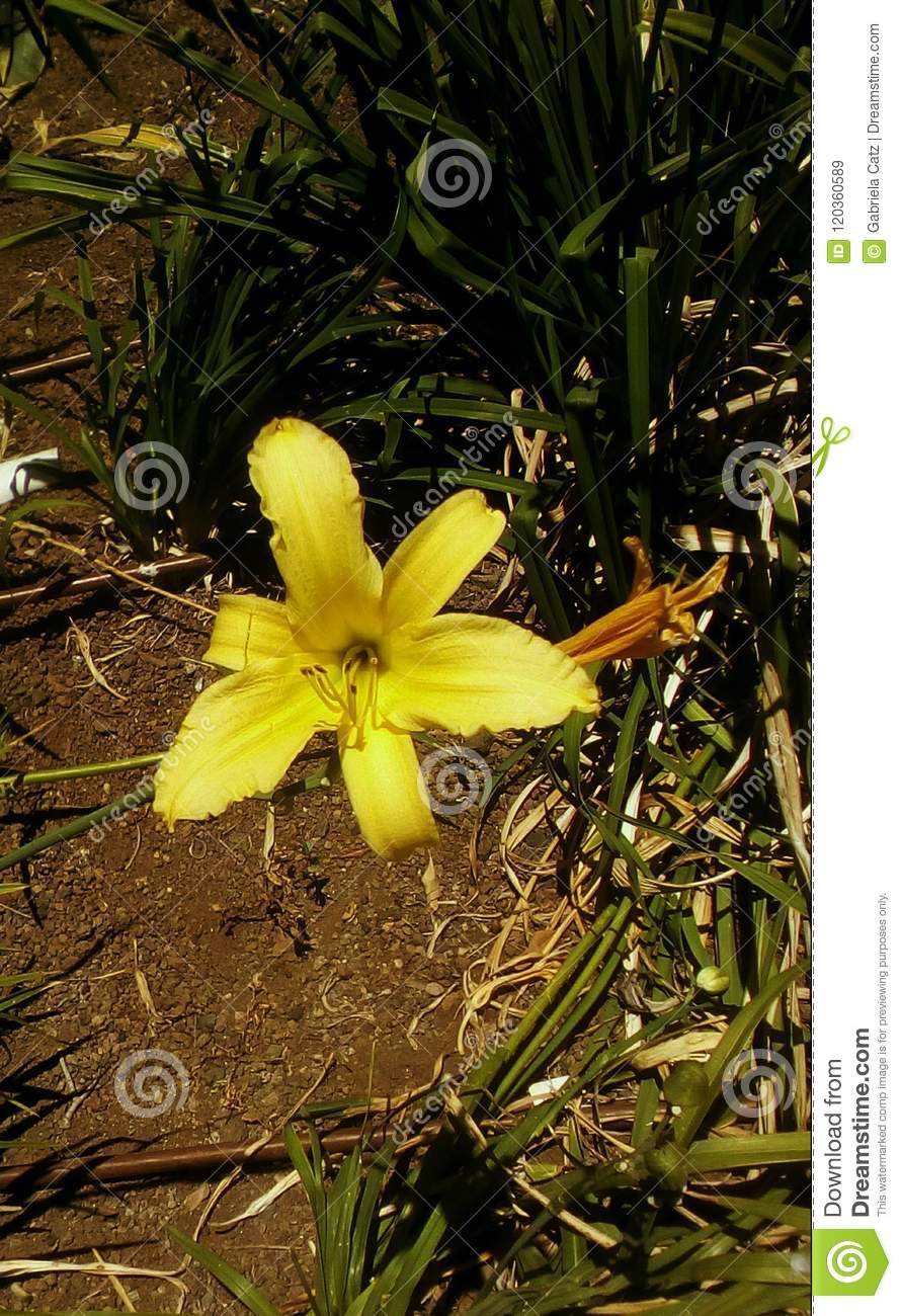 Yellow Bell Shape Blooming Flower Stock Image Image Of Ground