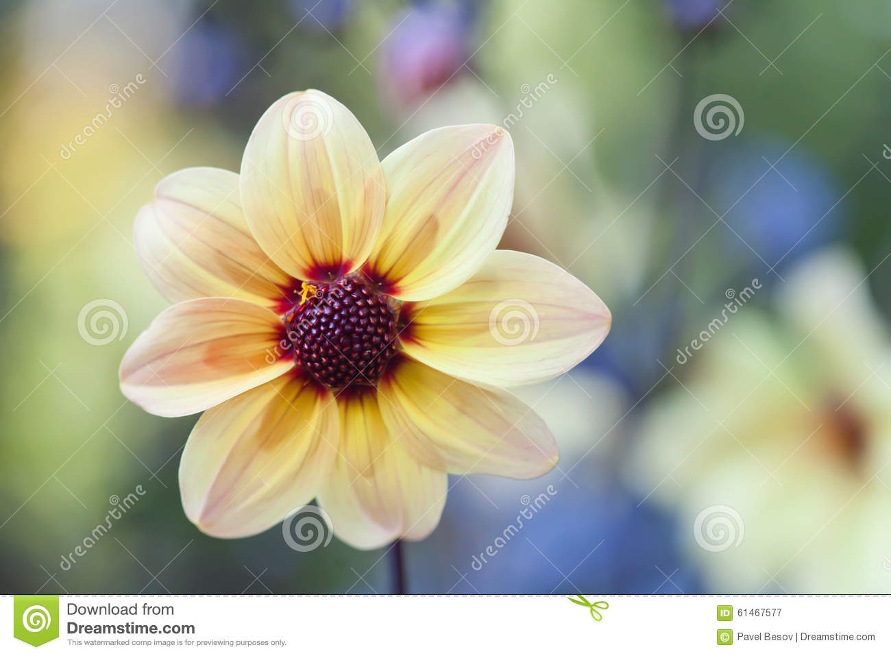 Yellow Petals Flower With Dark Red Center Stock Image Image Of