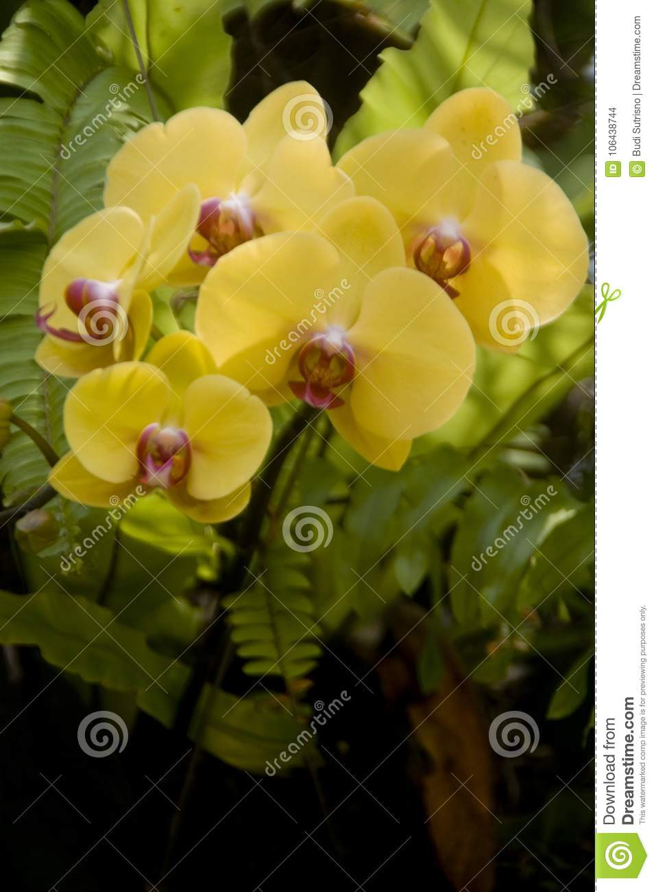 A Yellow Phalaenopsis Hybrid Orchid Flower Stock Photo Image Of