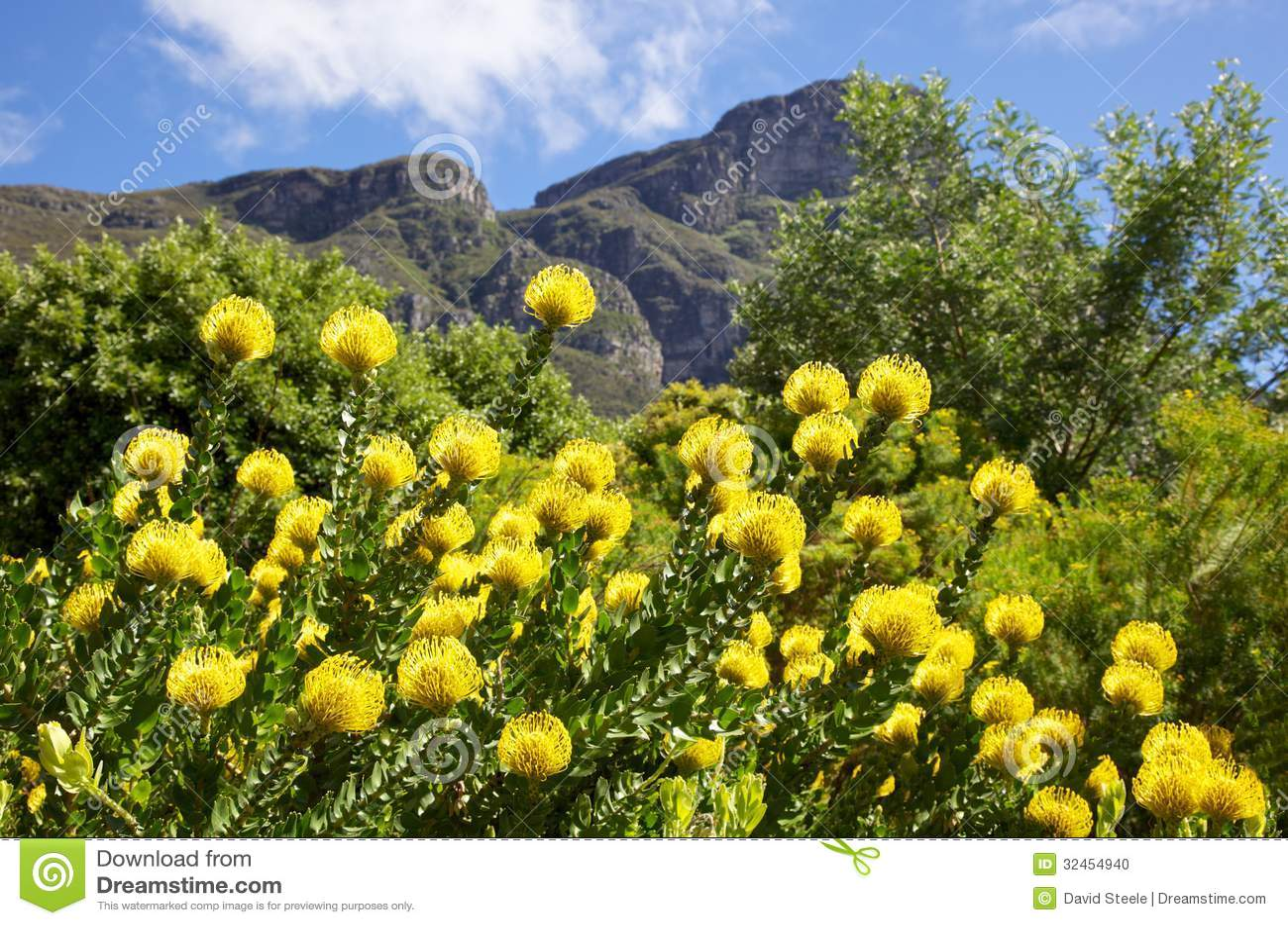 Yellow Pincushion Flower Stock Photo Image Of Cape Plant 32454940
