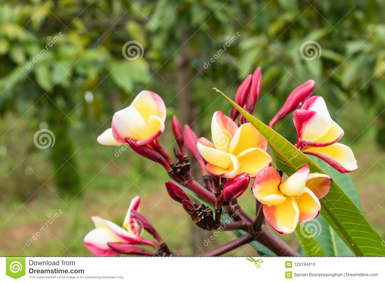 Yellow And Pink Flowers Or Plumeria Obtusa In Garden Stock Image