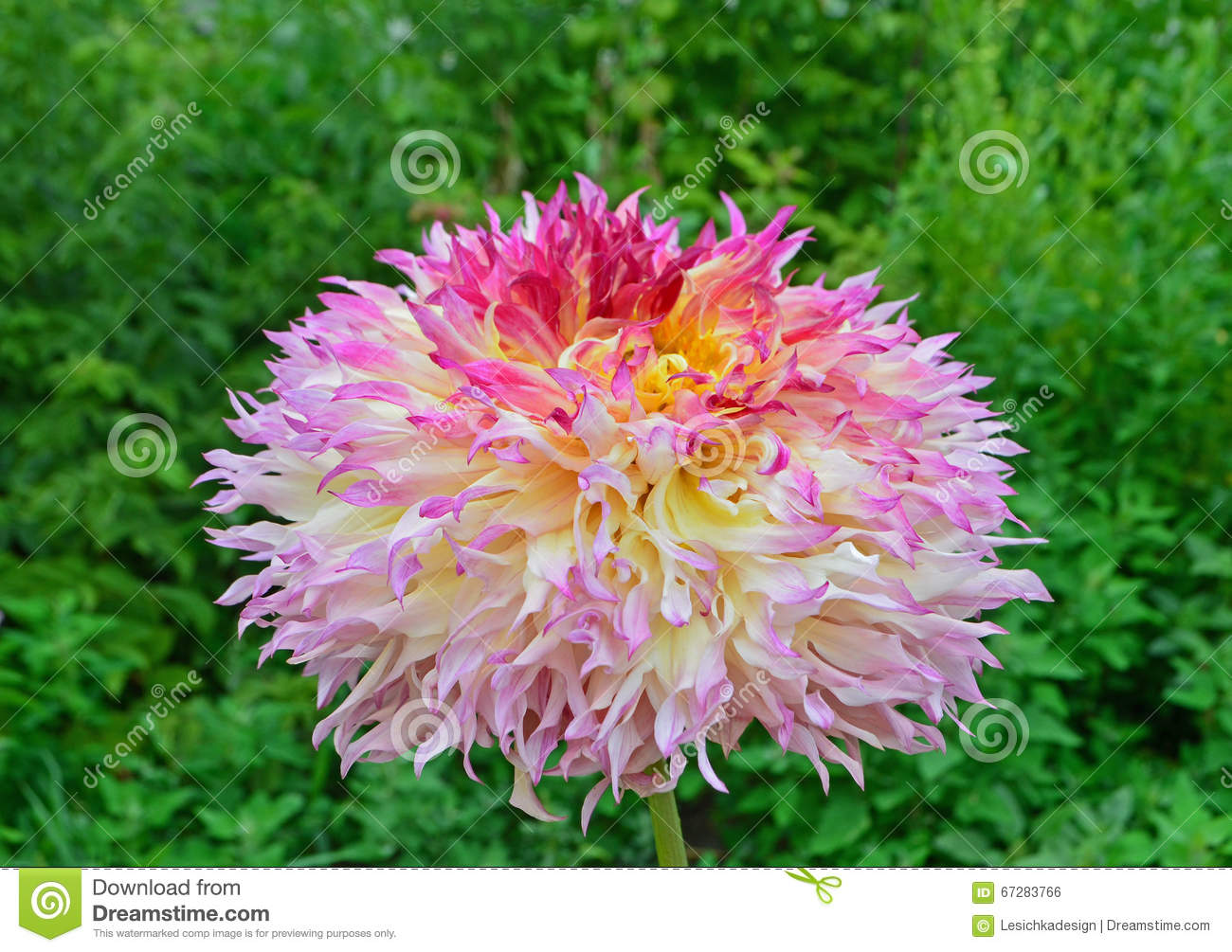 Yellow pink and orange dahlia flower in garden stock photo image download yellow pink and orange dahlia flower in garden stock photo image of izmirmasajfo