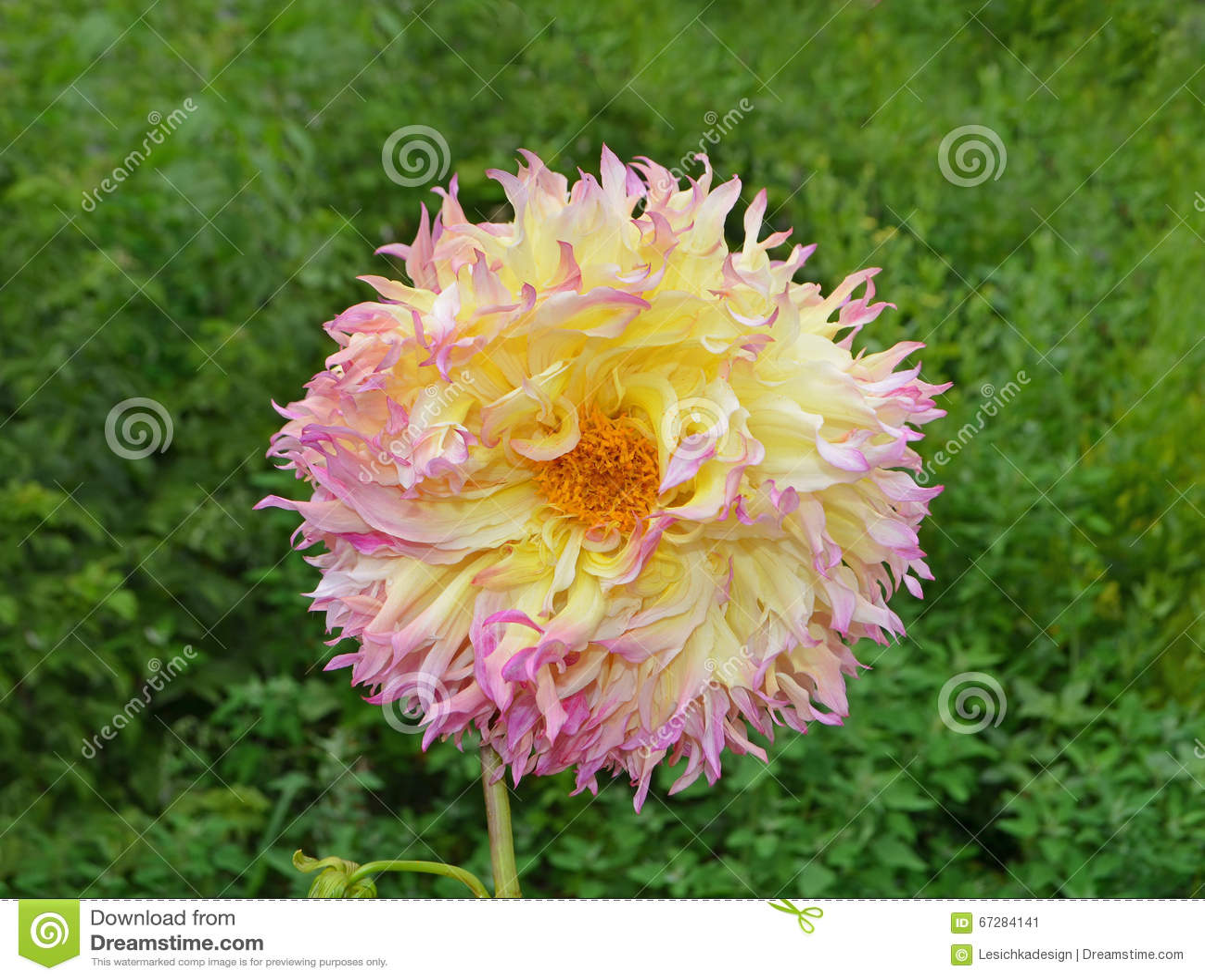 Yellow Pink And Orange Dahlia Flower In Garden Stock Image Image
