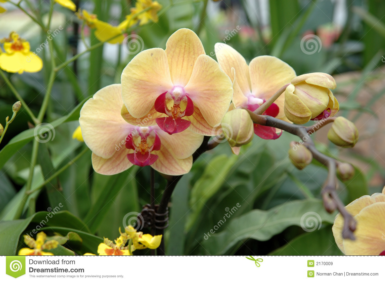 Yellow And Pink Orchid Yellow-pink orchids st...