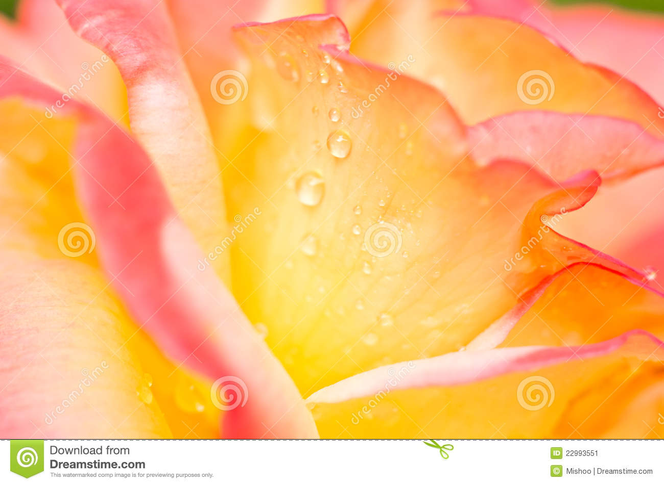 Yellow pink rose flower stock image image of plants 22993551 download comp mightylinksfo