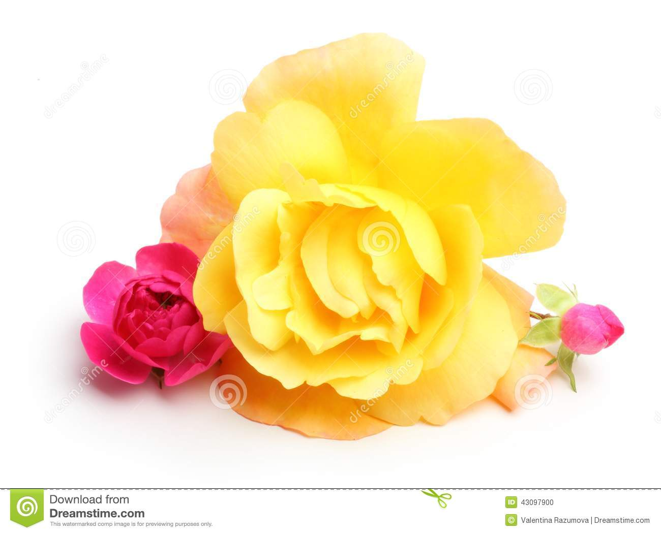 yellow and pink rose flowers stock photo image of color