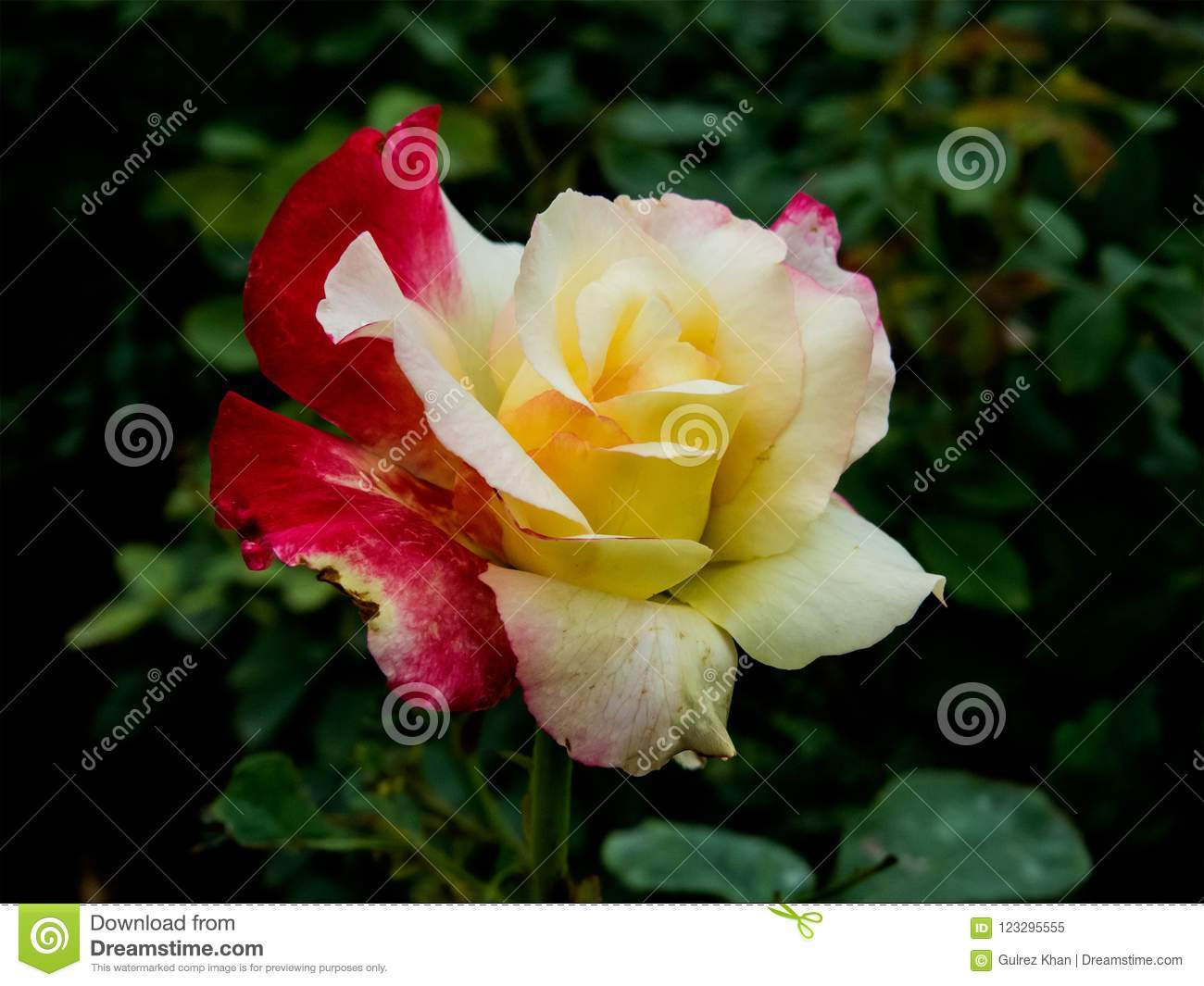 Yellow and Pink Rose, Two Shades Rose