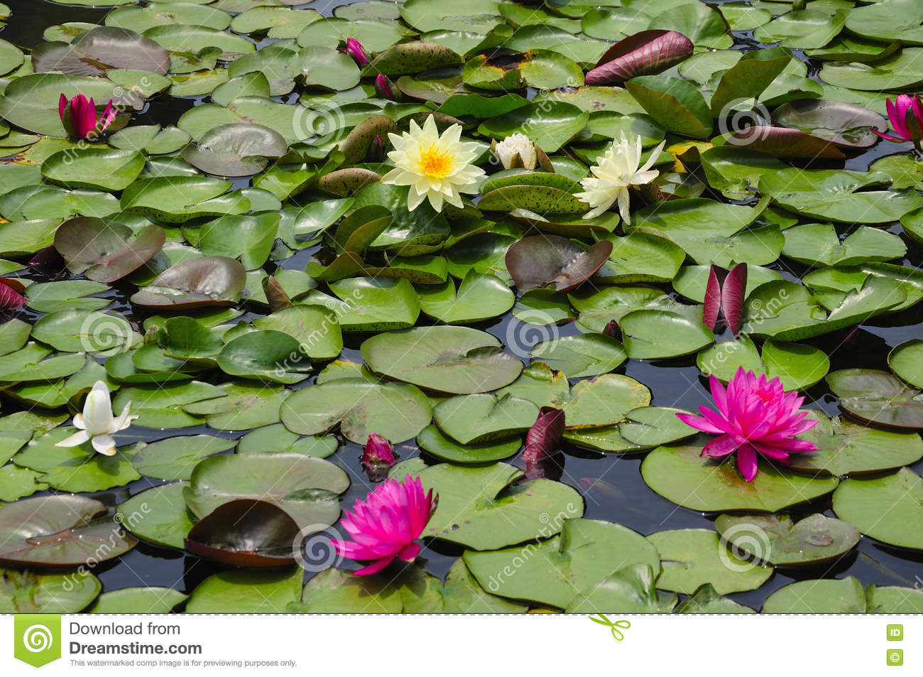 Yellow and pink water lily pond stock image image of lilies small yellow and pink water lily pond izmirmasajfo