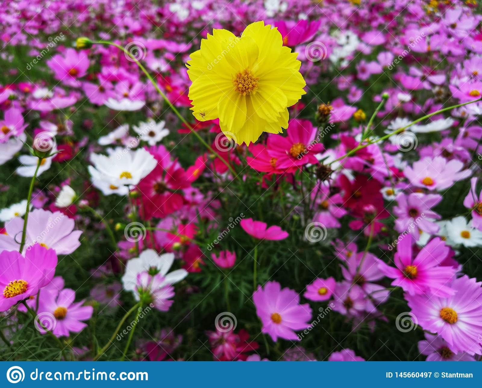 Cosmos flowers are blooming set to background, crop planting at the field of Thailand