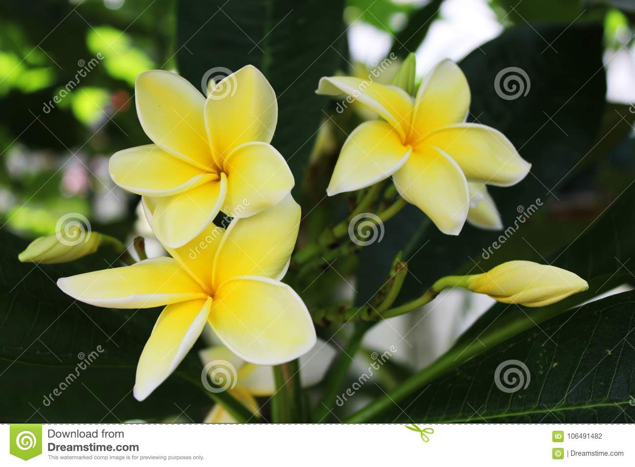Yellow Plumeria Flowers On A Dark Green Background Of Leaves Stock