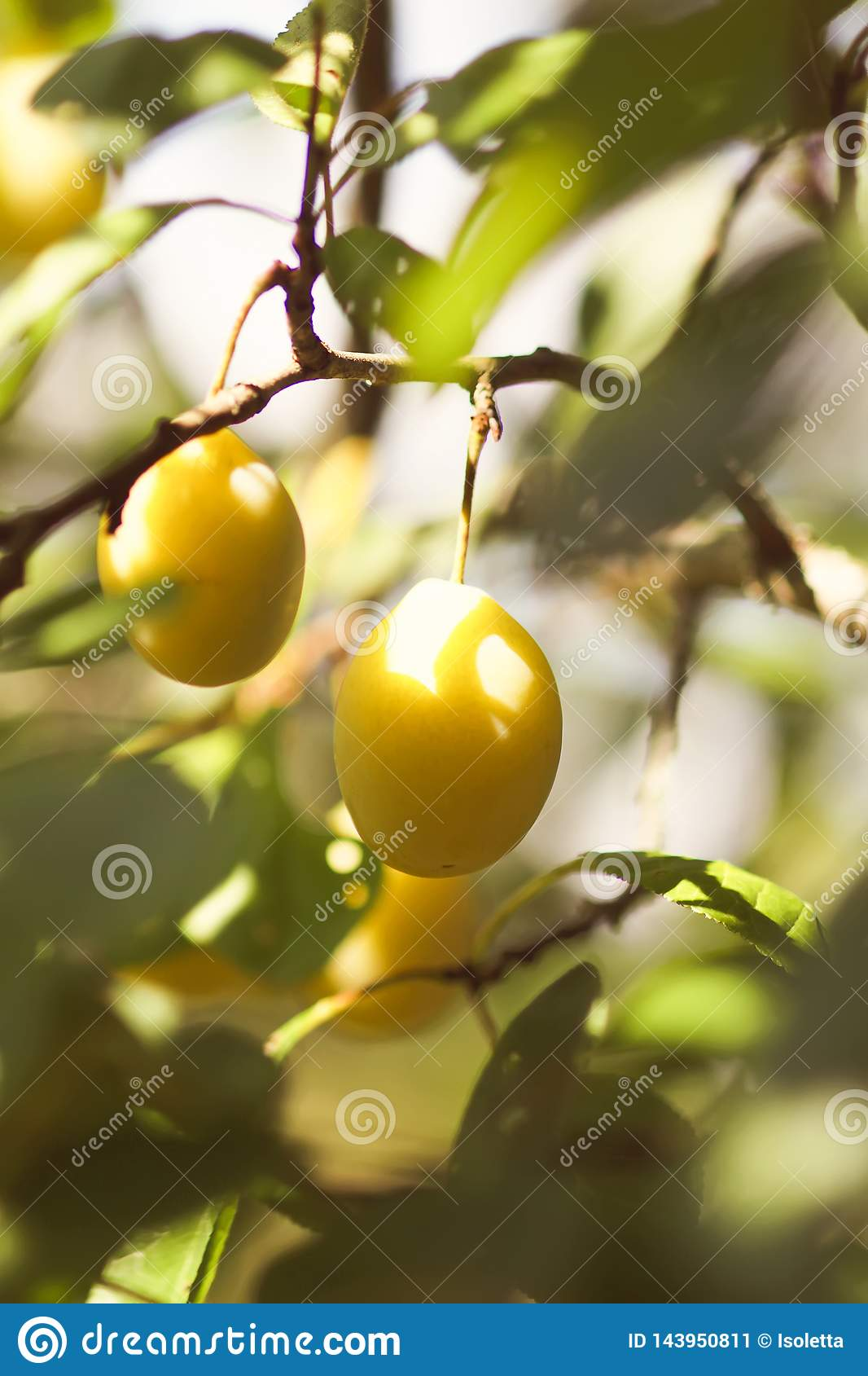 Yellow plums on tree branches in summer garden. Seasonal sweet ripe fruits.