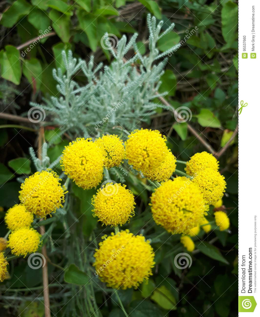 Yellow pom poms stock photo image of flowers yellow 95537660 download yellow pom poms stock photo image of flowers yellow 95537660 mightylinksfo