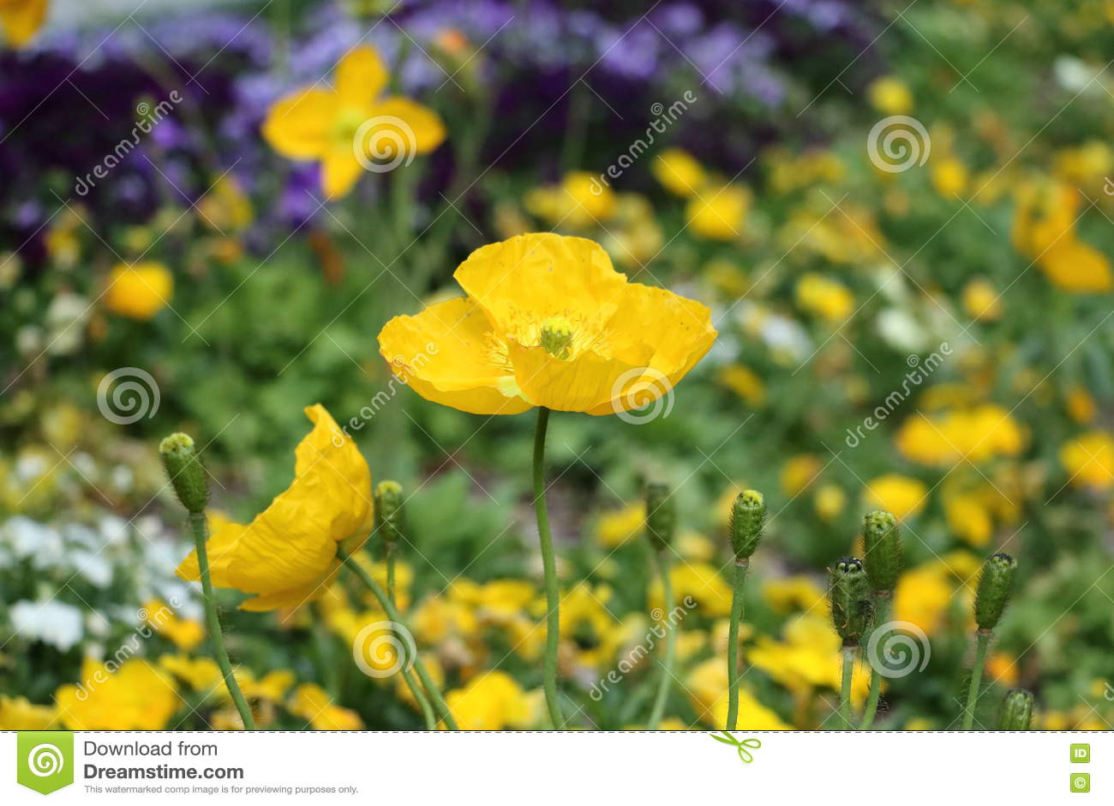 Yellow Poppy Flower Stock Image Image Of Fields Plant 72368315