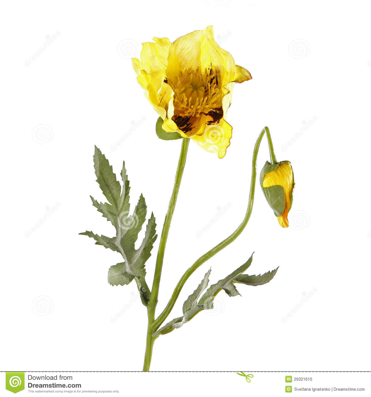 Yellow poppy flower isolated on white stock photo image of plant download comp mightylinksfo