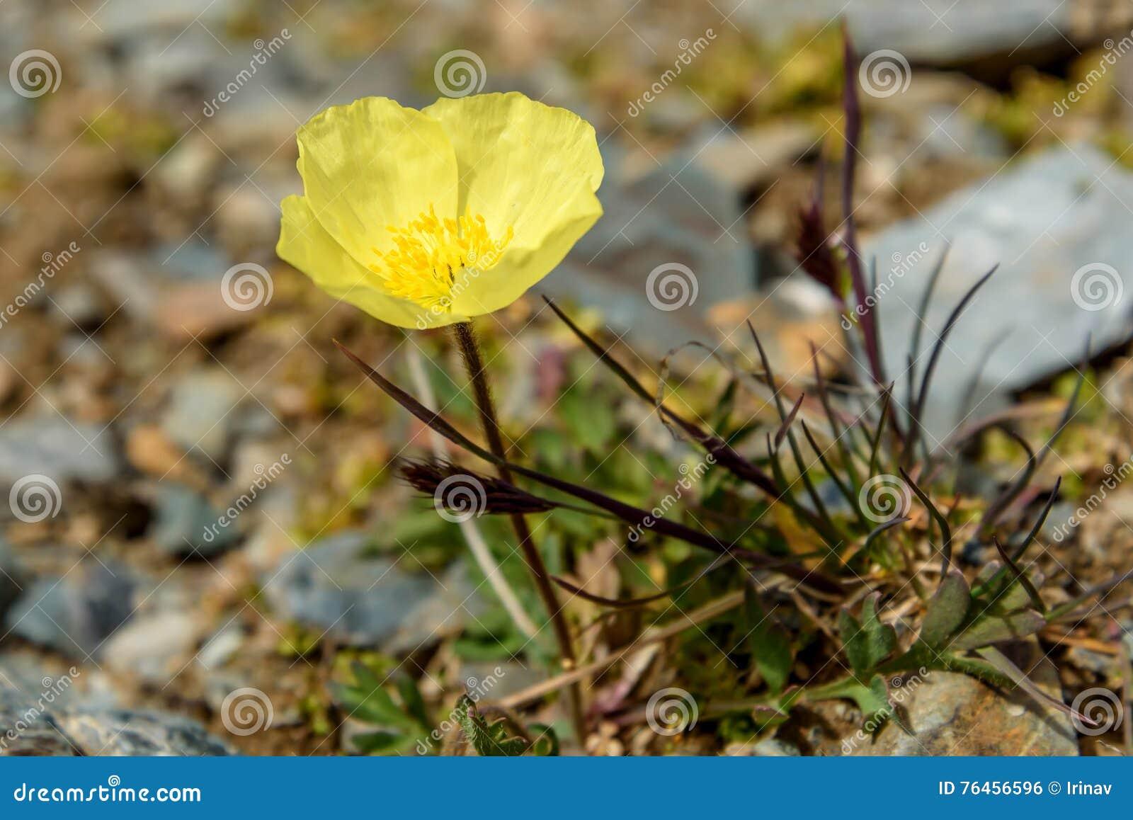 Yellow Poppy Flowers Mountains Closeup Stock Photo Image Of
