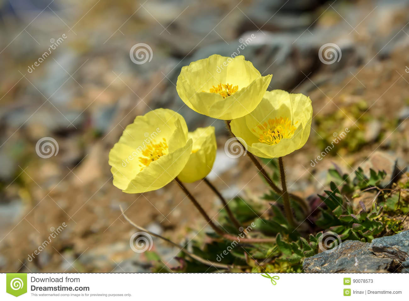 Yellow Poppy Flowers Mountains Closeup Stock Image Image Of Cliffs
