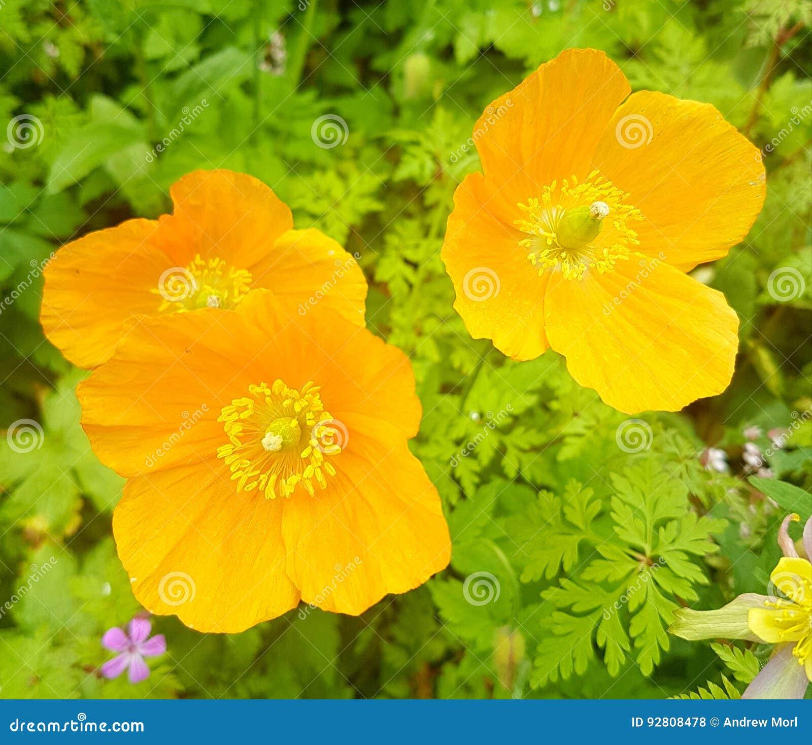 Yellow Poppy Stock Photo Image Of Spring Yellow Flowers 92808478
