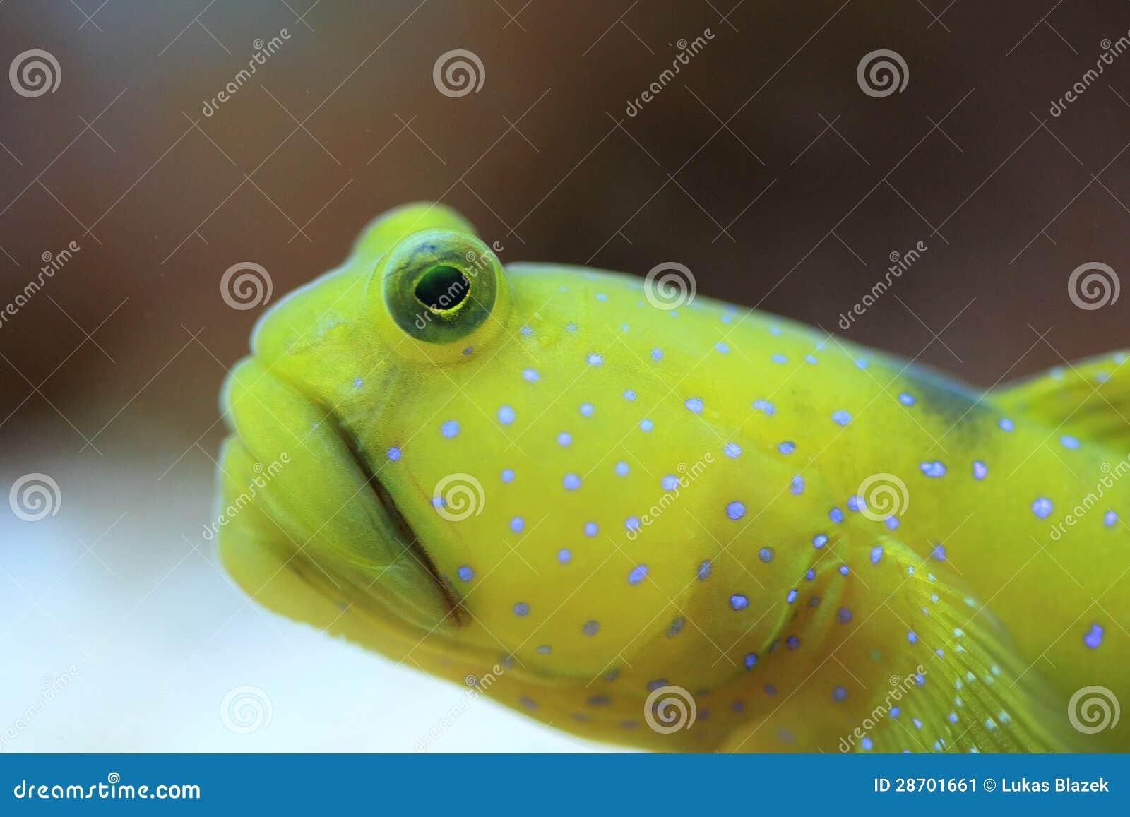 Yellow prawn goby