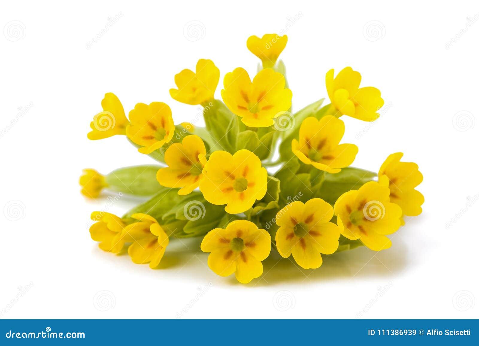 Yellow Primrose Flowers Stock Image Image Of Common 111386939