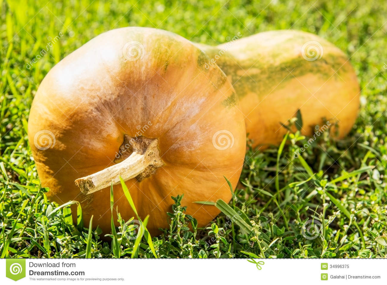 (Cucurbita moschata) on a