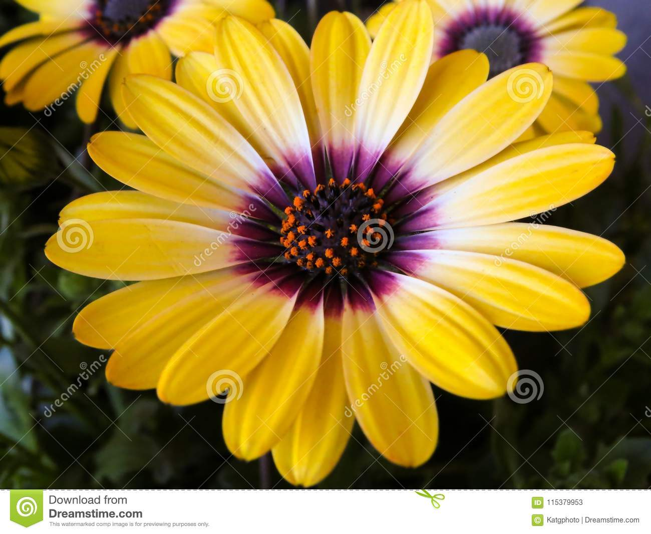 Yellow and purple african daisy flowers in the green plant leaves download yellow and purple african daisy flowers in the green plant leaves stock image image izmirmasajfo