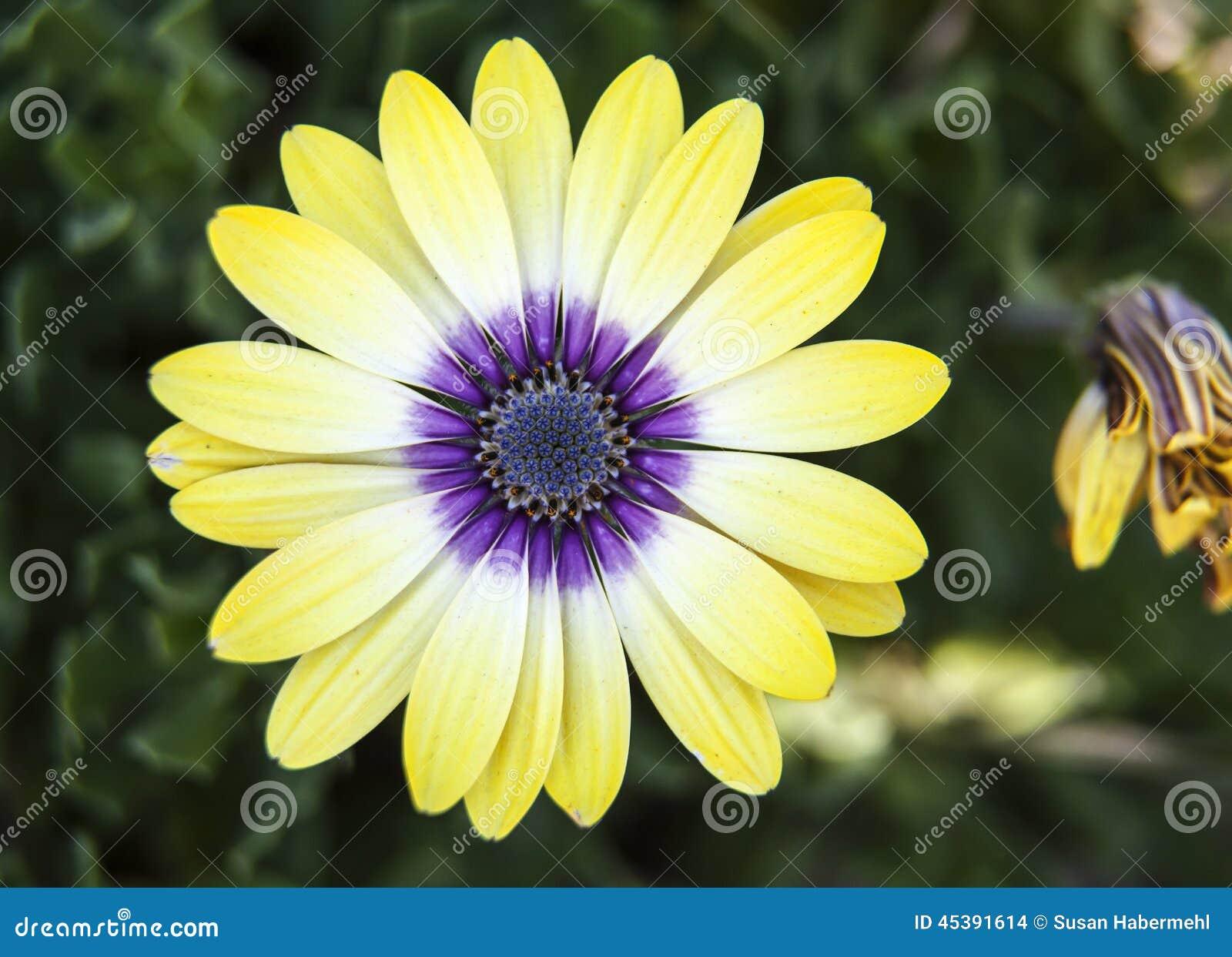 Yellow And Purple Chrysanthemum Stock Photo 45391614 Megapixl