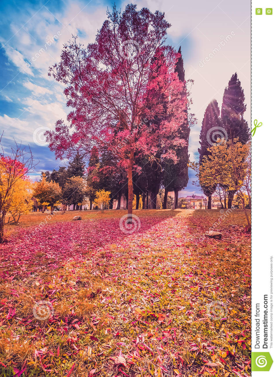 Yellow And Purple Colorful Leaves Autumn Colors In The Park Outdoor With Tree And Sun Ray Stock Image Image Of Purple Outdoor 80120751