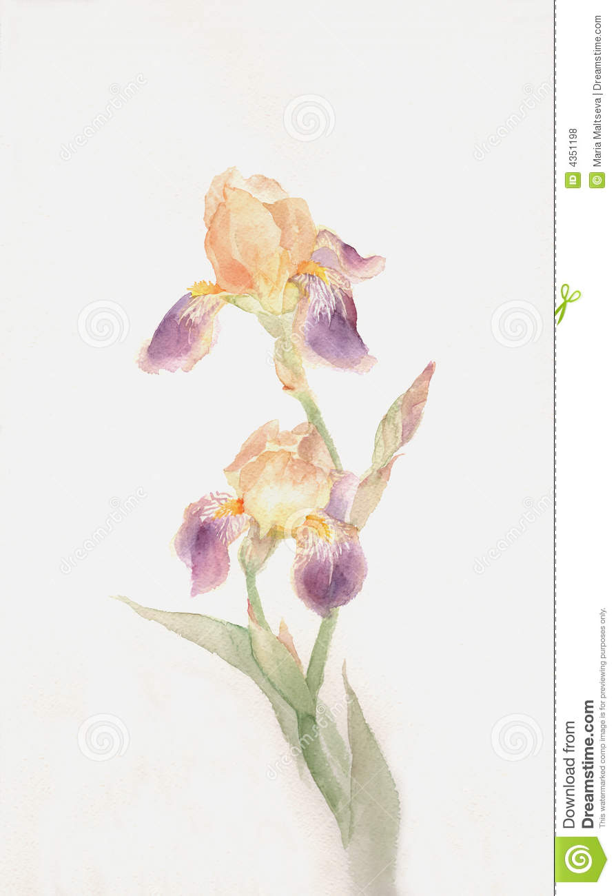 Yellow Purple Iris Flowers Watercolor Painting Stock Illustration