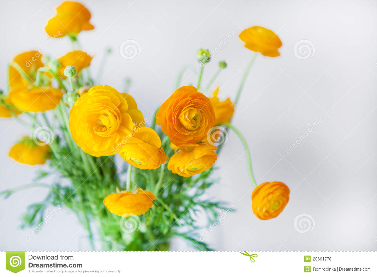 yellow ranunculus royalty free stock photos - image: 28661778