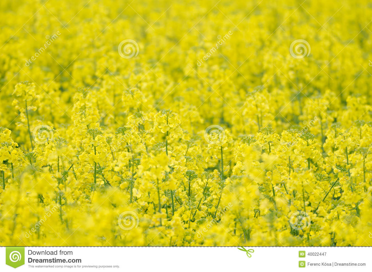 Yellow Rapeseed Field Close Up Royalty Free Stock