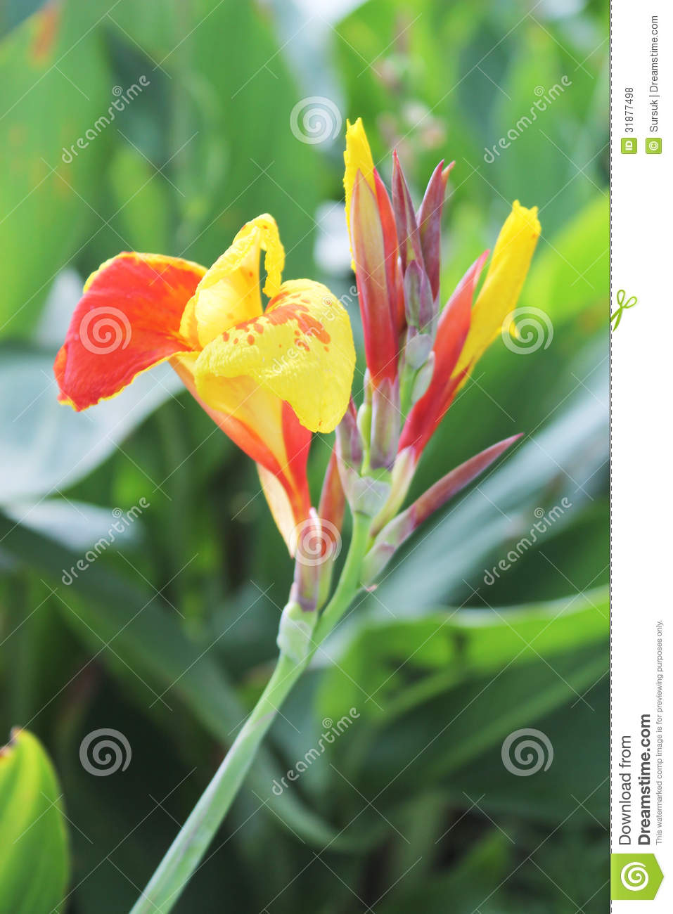 Yellow and red canna flowers and buds stock photo image of canna yellow and red canna flowers and buds mightylinksfo