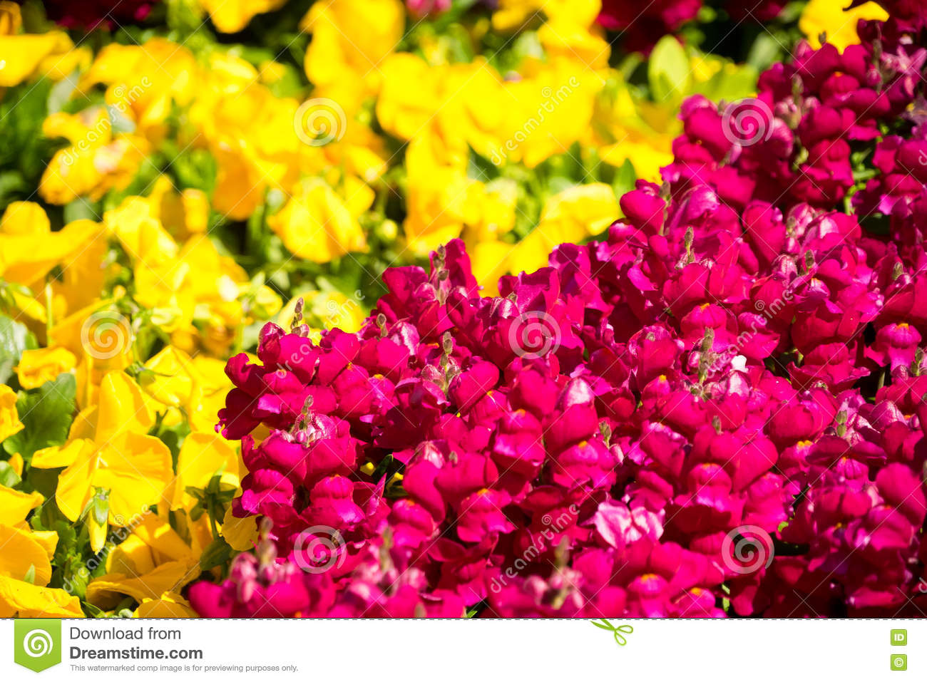 Yellow and red flowers background stock photo image of pansy download yellow and red flowers background stock photo image of pansy effect 78336312 mightylinksfo