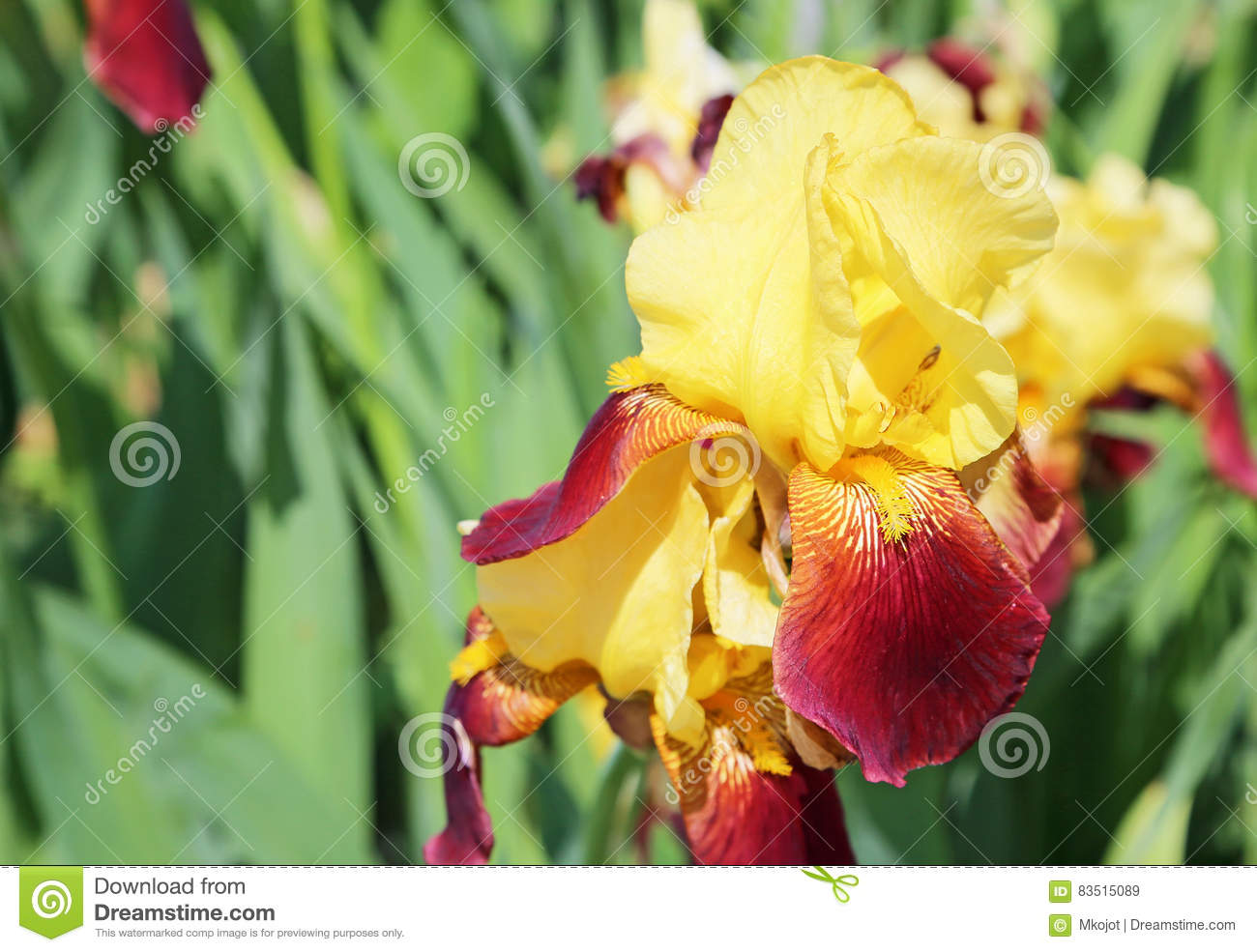 Yellow Red Iris Flower Stock Image Image Of Macro Floral 83515089