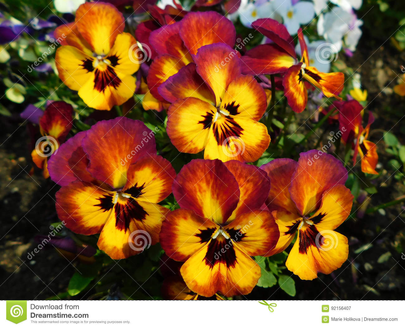 Yellow Red Pansies Stock Image Image Of Bloom Colourful 92156407