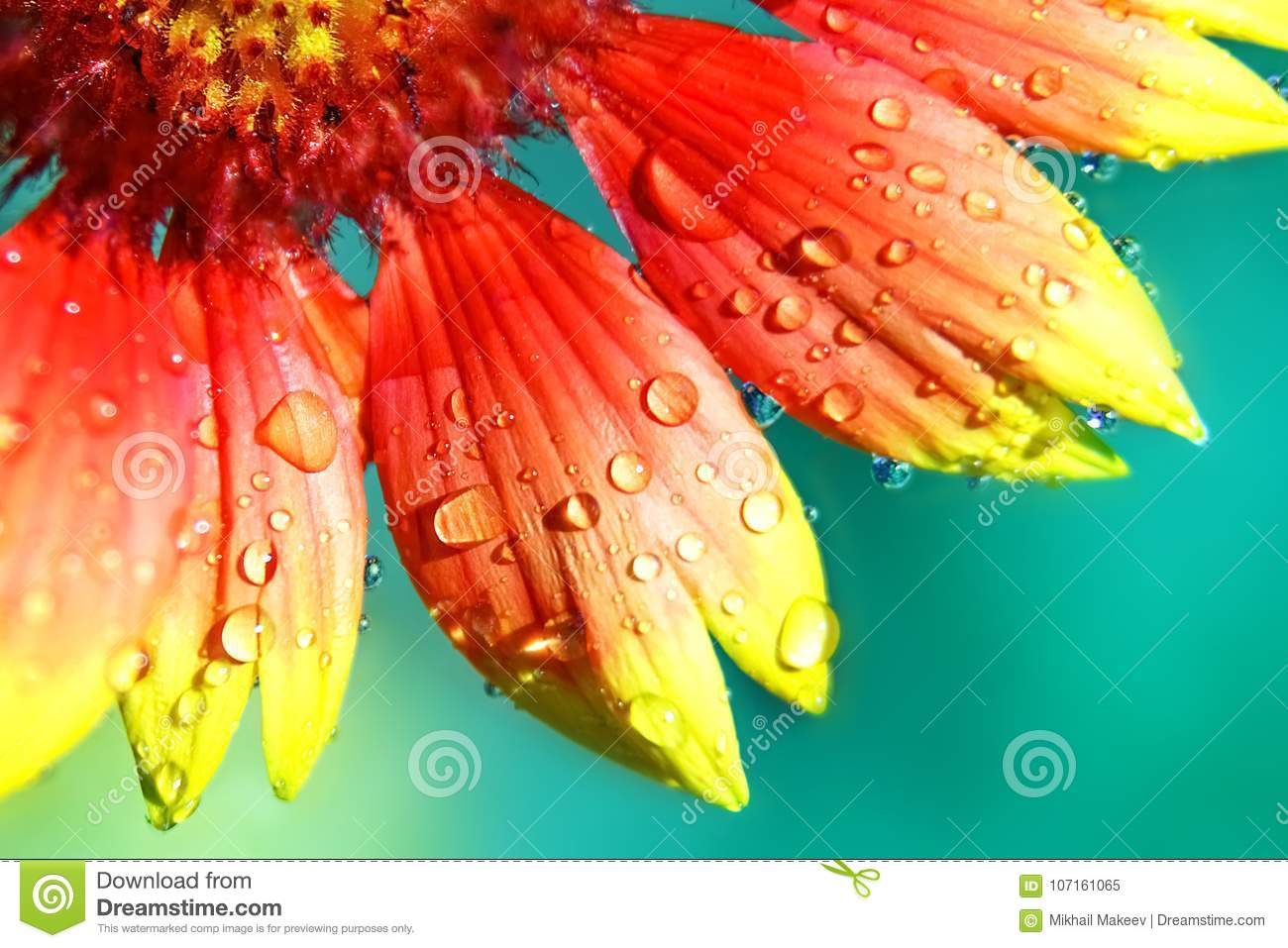Yellow and red petals of flowers in droplets of water natural download yellow and red petals of flowers in droplets of water natural floral background mightylinksfo