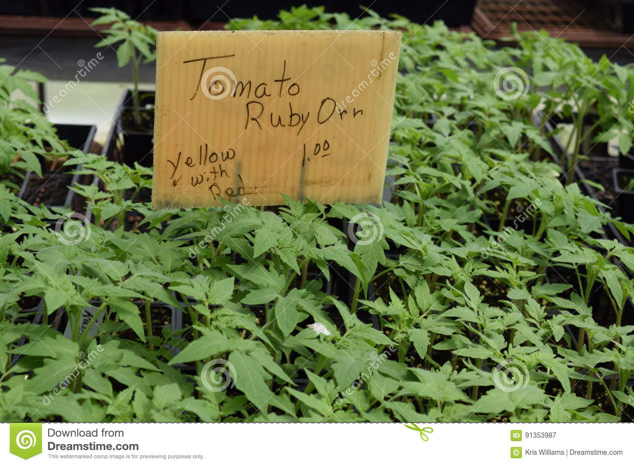 Yellow with red Ruby Orr tomato seedlings