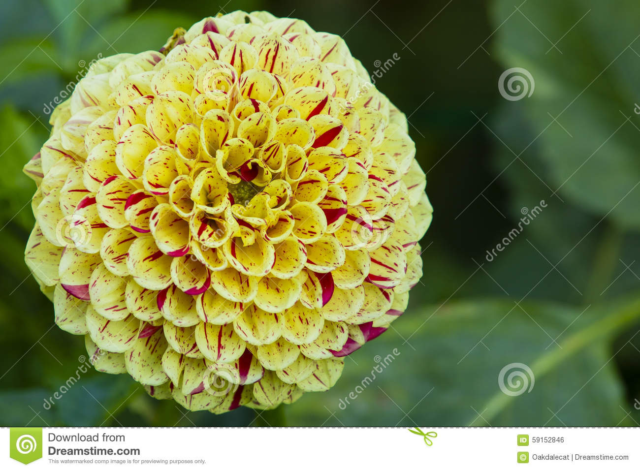 Yellow And Red Striped Dahlia Stock Photo Image Of Nature